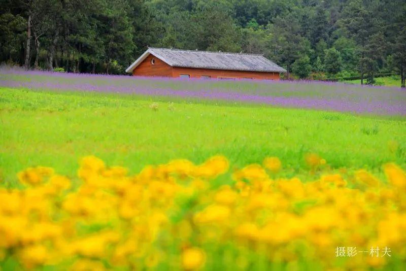 梦里水乡,美丽乡村——确山常庄马鞭草花儿开!