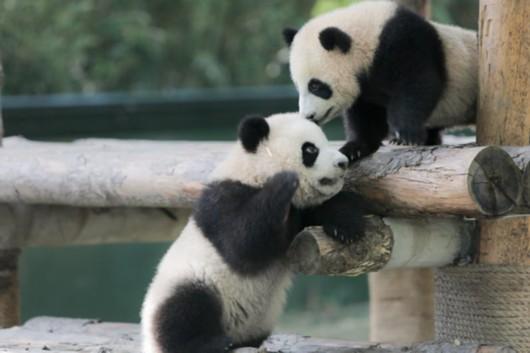 雪宝,芊金 上海保护基地的熊猫宝宝有名字了!