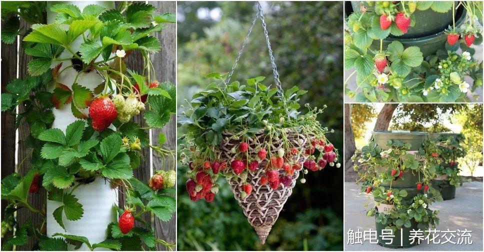 可以直接播种育苗或在菜市场买一些草莓幼苗,种到花盆里就能生长,每天