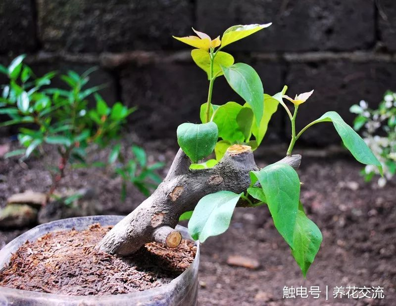 三角梅用硬木枝条扦插也能成功,看看我家里养的盆栽三角梅